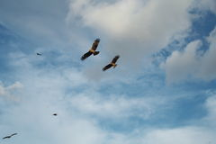 Черные змеи летая Стоковые Фотографии RF