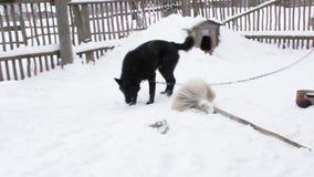 Черные игры собаки двора с косточкой сток-видео