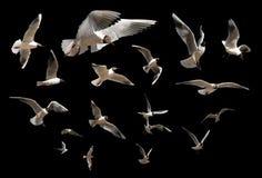 черные изолированные чайки Стоковое Изображение RF