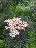 Черные листья & цветки Elderberry шнурка стоковые фото