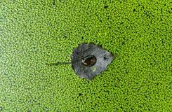 Черные лист на текстуре предпосылки duckweed в канале стоковые фотографии rf