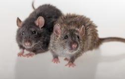 Черные и коричневые отечественные крысы Стоковая Фотография