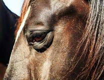 Черные и коричневые лошади в стойле и выгоне Стоковые Фото