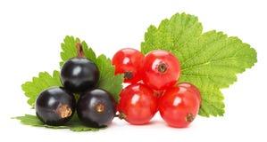Черные и красные смородины изолированные на белой предпосылке стоковые фото