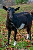Черные козы Стоковое Изображение