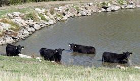 Черные коровы Ангуса в пруде Стоковые Фото