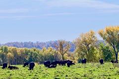 Черные коровы Ангуса пася в осени Стоковые Изображения