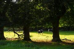 черные коровы будут фермером белизна waltshire Великобритании Стоковые Изображения