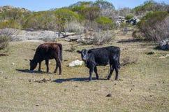 черные коровы Стоковые Фото