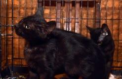 Черные котята в клетке стоковое фото rf