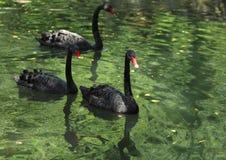 черные лебеди группы стоковое изображение rf