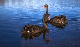Черные лебеди плавая на озере Стоковая Фотография