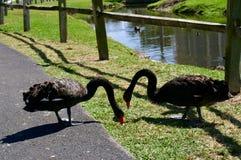 Черные лебеди совместно в влюбленности Стоковое фото RF