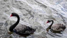 черные лебеди 2 реки Стоковые Изображения