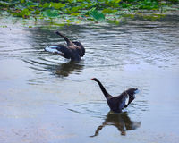 черные лебеди 2 Стоковое Фото