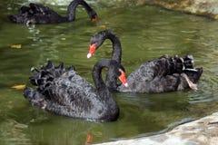 черные лебеди 2 Стоковые Изображения