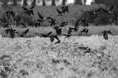 Черные летящие птицы Галки летания над полем чернота и wh Стоковые Изображения RF