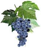 черные листья виноградин Стоковая Фотография