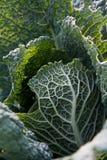 черные листья капусты Стоковая Фотография RF