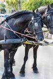 Черные лошади с уздечкой стоковые изображения
