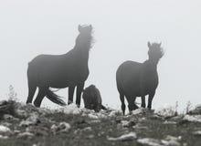 черные лошади одичалые Стоковая Фотография RF