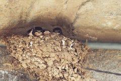 Черные младенцы ласточки в гнезде стоковое изображение