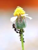 Черные муравеи Стоковая Фотография RF