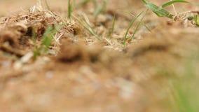 Черные муравьи идя на их поле видеоматериал
