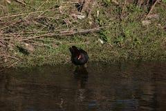 Черные общие камышница/chloropus Gallinula стоят на банке реки стоковые фото