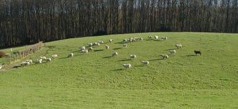 черные овцы панорамы Стоковая Фотография