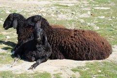 Черные овцы! Стоковое Изображение RF