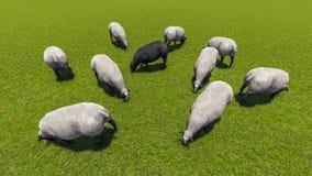 черные овцы Стоковая Фотография RF
