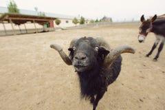 черные овцы Стоковое фото RF