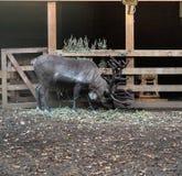 Черные олени в природном парке Стоковое фото RF
