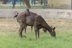 Черные олени с воронами в зоопарке Стоковые Изображения