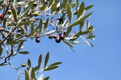 Черные оливки в ветви оливкового дерева Оливковое дерево с черными оливками, конец вверх Концепция оливок, традиция Стоковое Изображение