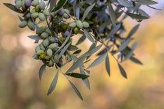 Черные оливки на ветви оливкового дерева Стоковое Изображение