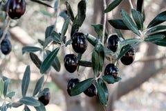Черные оливки на дереве Стоковое Фото