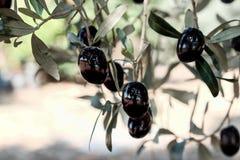 Черные оливки на дереве Стоковые Изображения