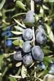 черные оливки Стоковая Фотография