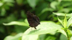 Черные остатки бабочки на зеленых лист после этого летают прочь внезапно видеоматериал