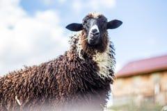Черные отечественные овцы Стоковая Фотография