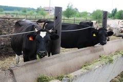 Черные доя коровы едят питание на ферме коровы Стоковое Фото