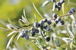 Черные оливки на ветви оливкового дерева Стоковое Изображение RF