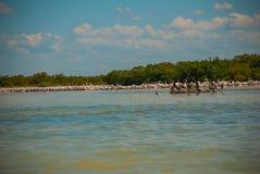 Черные птицы на сломленном дереве в воде и белых пеликанах в dalike Рио Lagartos, Мексика yucatan Стоковое Изображение RF