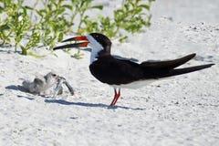 Черные родитель и цыпленок шумовки с рыбами Стоковое Изображение RF