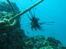 Черные рыбы льва Стоковое Изображение RF