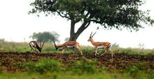черные самецы оленя Стоковое Фото