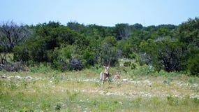 черные самецы оленя Стоковая Фотография RF