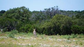 черные самецы оленя Стоковое Изображение RF